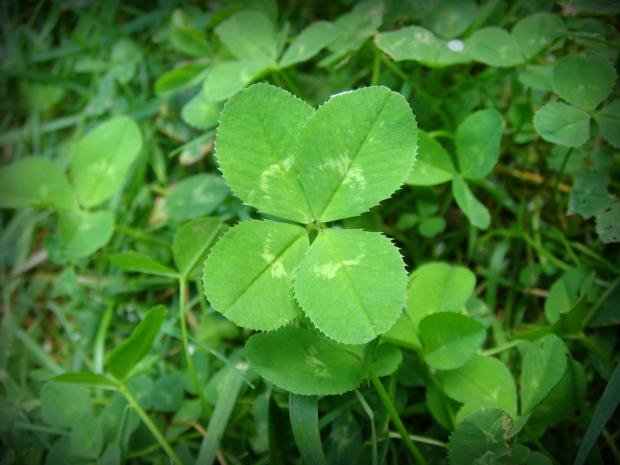 4-leaf_clover.JPG